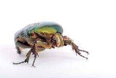 Green bug, macro Royalty Free Stock Image