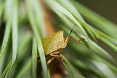 Green bug meetы new day. Green bug peeking out of the bush Royalty Free Stock Photo