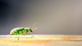 Green bug. Nature photo: macro of a green bug exploring the world royalty free stock photography