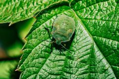 Green bug with red eyes. Bedbug on a green leaf close up royalty free stock photography