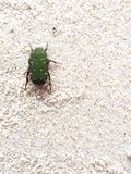 A green bug Royalty Free Stock Photography