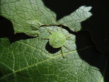 Green bug on a vine leaf Stock Photography