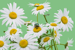 Green bug and white camomiles Stock Photography