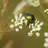 Green bug on a white flower. Green chafer beetle closeup on a branch of white blossom. Top view. Green background Stock Image