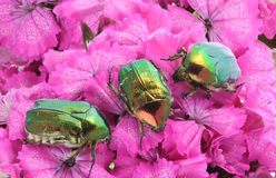 Green bugs on pink flowers Stock Photography