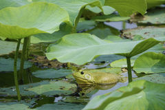 Green Bull Frog Stock Photography