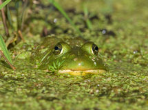 Green Bullfrog royalty free stock photo