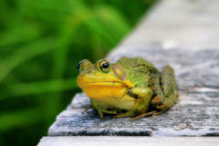 Green bullfrog also called green frog with blured Stock Photography