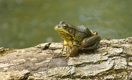 American Green Bullfrog. American Bull Frog Lithobates catesbeianus on rotting tree stump in swamp stock images