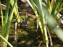 Green Bullfrog. Green American Bullfrog in a pond in Central Ohio Park royalty free stock photo