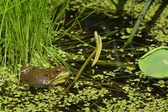 Bull Frog in the Water. A green bullfrog in a lotus pond with duckweed and water royalty free stock images