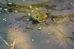 Green bullfrog in pond Royalty Free Stock Photo