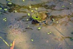 Green bullfrog in pond Royalty Free Stock Photo