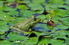 A green bullfrog standing on green water lily leaves Stock Images