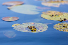 Green bullfrog and water lily leaves Stock Images