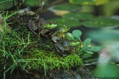 Green Bullfrogs Royalty Free Stock Images