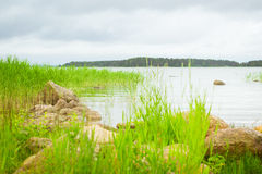 Green bulrush in a Bay of Finnish Gulf. Hamina camping, Suomi Royalty Free Stock Photo