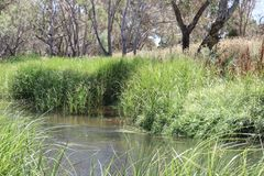 Green bulrushes at the edge of a creek with gum trees in the bac Royalty Free Stock Photos