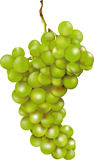 Green bunch of grapes. With a luminous shining after rich harvest in autumn Stock Photo