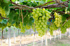 Green bunch of grapes in the vineyard. Vineyard grapes fresh.grapes in the vineyard Royalty Free Stock Photos