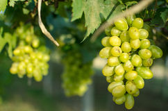Green bunch of grapes in the vineyard. Vineyard grapes fresh grapes in the vineyard Royalty Free Stock Photos
