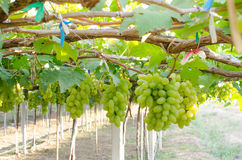 Green bunch of grapes in the vineyard. Grapes fresh in the vineyard Stock Photography