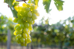 Green bunch of grapes in the vineyard. Vineyard grapes fresh in morning Royalty Free Stock Photo