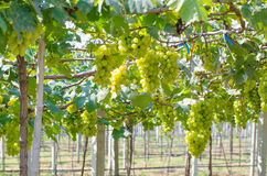 Green bunch of grapes in the vineyard. Green grapes in morning.grapes in the vineyard Royalty Free Stock Photography