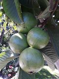 Green bunch of guava fruits hanging on tree royalty free stock images
