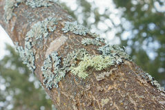 Green bunch of lichen on tree trunk closeup stock photography