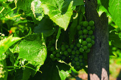 Green bunches of grapes ripen under the sunlight on branches. Close-up Stock Image