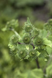 Green burdock Stock Photography