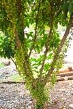 Green Burmese grape. On tree Royalty Free Stock Image