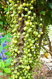 Green Burmese grape Stock Photo