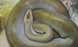 Green burmese python Stock Images