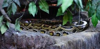 Green burmese python Royalty Free Stock Photography