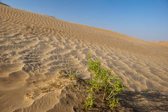 A green bush. In the desert one Royalty Free Stock Photos