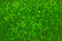 Green bush. Leaves closeup shot Royalty Free Stock Photography