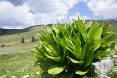 Green bush on alpine meadow Stock Images