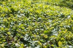 Green bush. Background of a green bush stock image