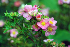 Green bush blooming with small pink flowers Royalty Free Stock Photos