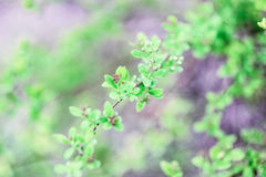 Green bush blooms. On a green background Royalty Free Stock Images