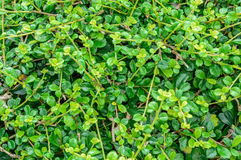Green Bush Stock Images