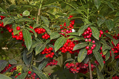 Green bush with bright red berries hang in clusters. Botanical Garden Royalty Free Stock Photos