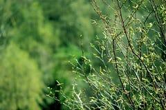 Green bush. A budding bush. Sunny spring photo Stock Photos
