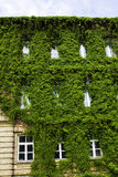 Green bush on a building. Green bush growing on a university building in grodno (belarus Stock Photos