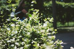 Green Bush Close Up. Blurred woman on background royalty free stock images