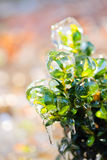 Green bush covered with ice Stock Image