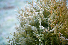 Green bush covered with morning frost, frozen plant, winter scene Royalty Free Stock Photography