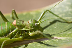 Green bush-cricket Royalty Free Stock Image